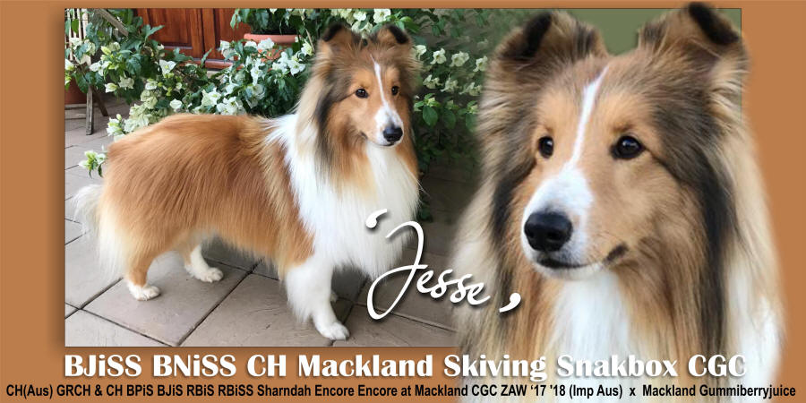 Jesse sheltie showcase