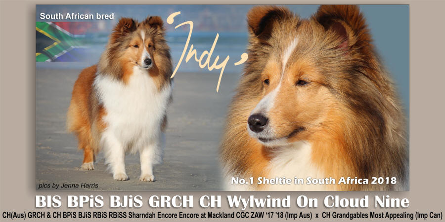 showcase sheltie indy