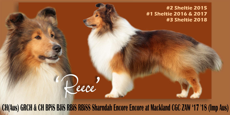 showcase reece sheltie